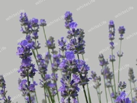 natur lavendel blume blueten staude blau. Black Bedroom Furniture Sets. Home Design Ideas