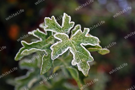 Blätter mit Rauhreif, Leaves with frost